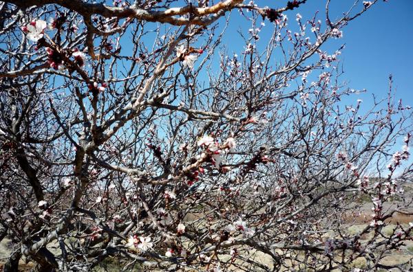 apricot-blossoms
