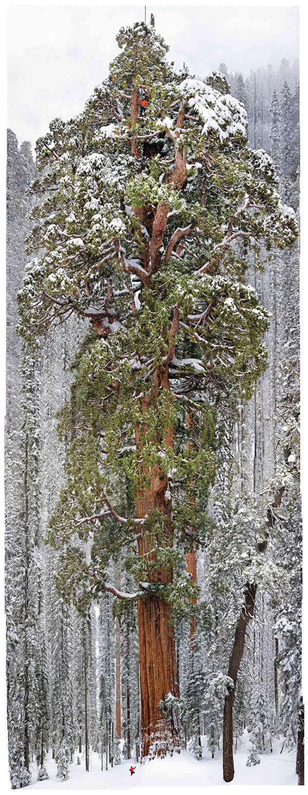 giant-sequoia-photo-michael-nichols