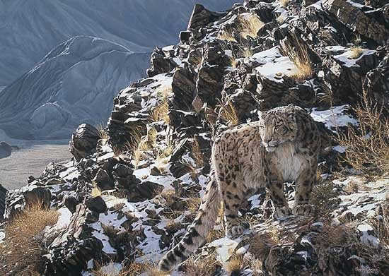 combes-mountain-myth-snow-leopard