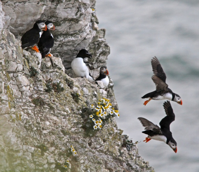 cliffside puffins