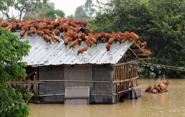 rooftop chickens maoming