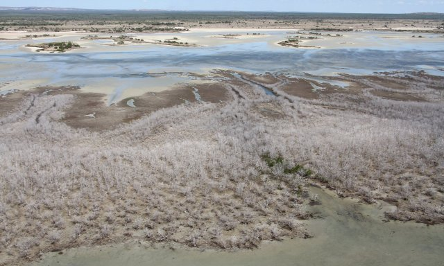 Oz mangrove die-off